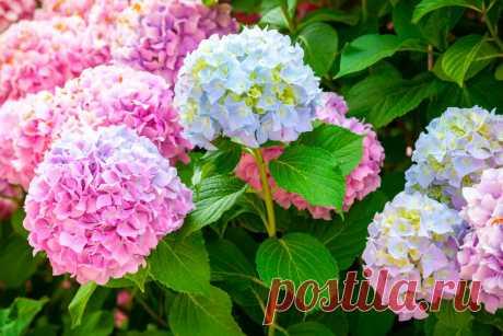 Как я подкармливаю Гортензию Лимонной кислотой и наслаждаюсь небывалым Цветением растения долгое время | Все о цветоводстве | Яндекс Дзен