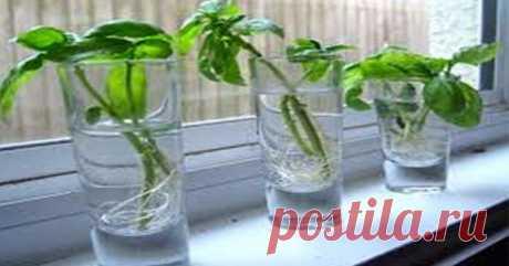 «Базилик и…»: Растения, которые можно выращивать в банке с водой круглый год