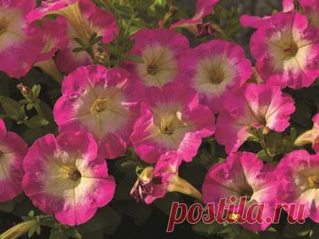 Как вырастить рассаду петунии из семян в домашних условиях пошагово с фото и видео