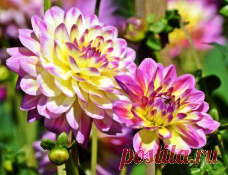 Посадка георгин в 2020 году: сроки посева, выращивание и уход Георгины очень яркие и красивые цветы. Благодаря разнообразию форм и расцветок каждый садоводов сможет найти самый красивый вариант для себя или создать роскошную клумбу из разных растений. Георгины с