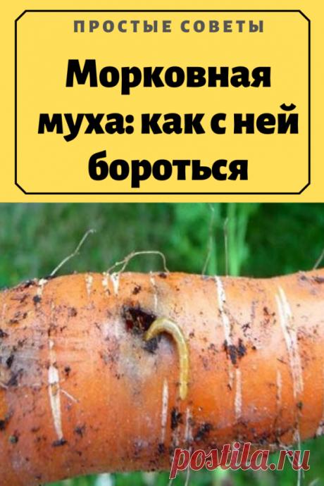 Морковная муха: как с ней бороться — Простые советы