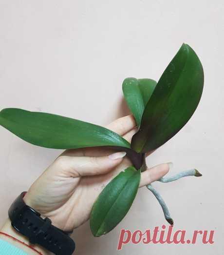 Как размножить орхидею? | Все о цветах | Яндекс Дзен
