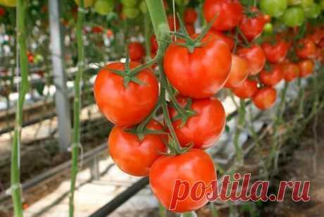 Посадка томатов (помидор) семенами в теплицу: безрассадный способ выращивания томатов.