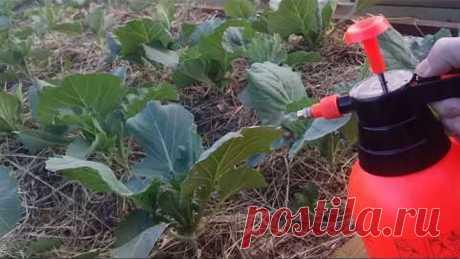Пшикаю этим капусту - растет как бешеная без болезней и вредителей!
