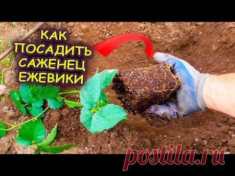 Вот так я сажаю саженцы ежевики в грунт. Как выращивать ежевику. Выращивание ежевики. Ежевика Кеддо.