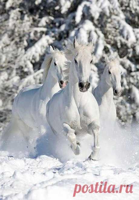 белые / Животные / Ее величество-Лошадь / Pinme.ru / Татьяна Садоведова