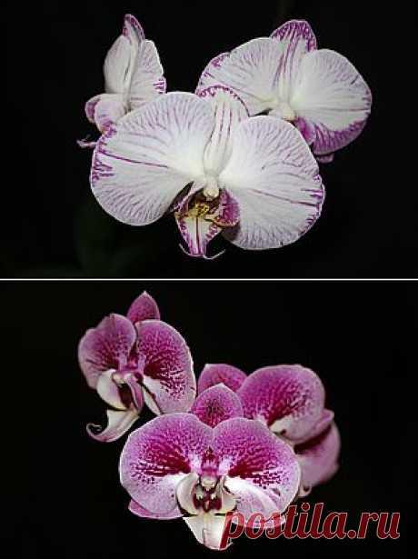 Уход за орхидеей Phalaenopsis. ОСНОВЫ УХОДА ЗА ОРХИДЕЯМИ. МОЯ ПЕРВАЯ ОРХИДЕЯ. ФАЛЕНОПСИС. Как ухаживать за орхидеей. Орхидея отцвела, что делать с цветоносом? Как обрезать цветонос фаленопсиса. Нужно ли обрезать цветонос у орхидеи?