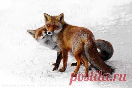 Прекрасные фото лисиц