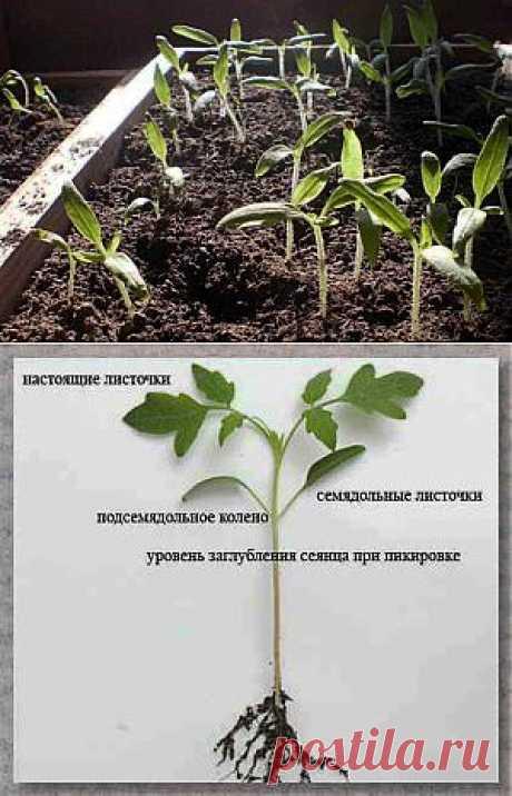 Выращивание рассады помидор в домашних условиях | Дача - впрок