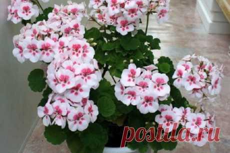 Чтобы обеспечить герани пышное цветение, нужно знать ЭТИ правила! Моим цветам завидуют все соседи. | Краше Всех