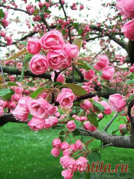 Красавица магнолия! В период цветения магнолии великолепны. Цветение магнолии обычно происходит в мае и длится очень долго, до 20 дней.