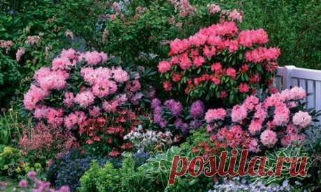 Зимостойкие сорта рододендронов: где посадить и как вырастить. Фото