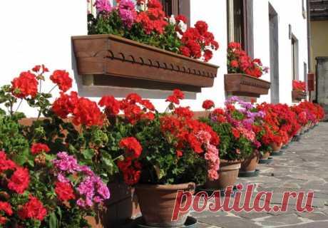 Аптечное средство для увеличения количества соцветий герани. — Садоводка