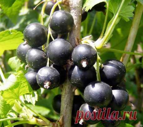 КАК СДЕЛАТЬ СМОРОДИНКУ КРУПНОЙ ДА ВКУСНОЙ Хороша смородина в саду! Что черная, что красная, что белая, что золотистая... У каждой свои витамины, свой вкус.Садоводы уже вывели такие сорта, которые дают ягоды размером до двух сантиметров в диам…