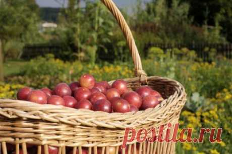 How to make wine of plum: 5 recipes of plum wine in house conditions - Onwomen.ru