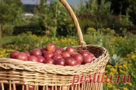 Как сделать вино из сливы: 5 рецептов сливового вина в домашних условиях - Onwomen.ru