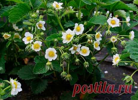 Чем подкормить клубнику во время цветения, чтобы потом было много завязей? | Дачные записки | Яндекс Дзен