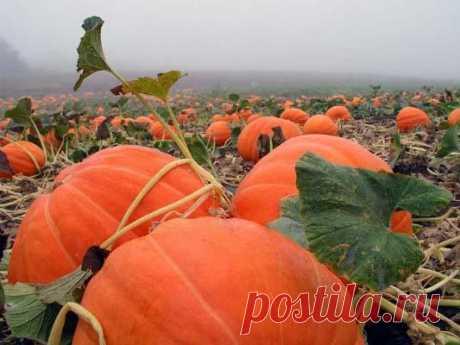 Подкормка тыквы в открытом грунте — обзор удобрений, сроки и особенности