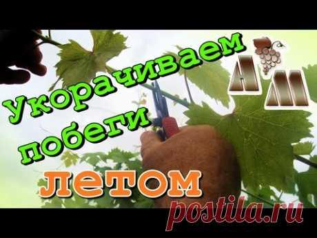 🍇 Летняя чеканка (укорачивание) побегов винограда