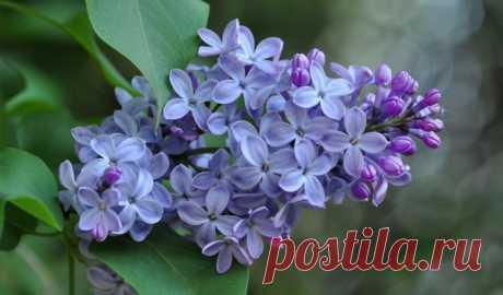 5 самых красивых и цветущих кустарников в саду | Цветы в квартире и на даче – от Радзевской Виктории | Яндекс Дзен
