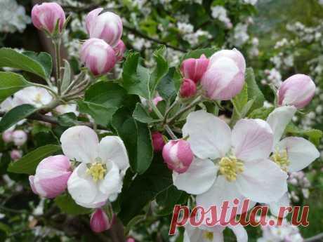 картинки : природа, цвести, белый, луг, цветок, лепесток, цветение, весна, производить, ботаника, Розовый, Флора, Кустарник, фруктовое дерево, яблоня, Rosa Canina, цветущее растение, Розовая семья, Цветок яблони, Яблоневый цвет, Пылающая роза, Наземный завод, Rosa Rubiginosa 2560x1920 -  - 1280372 - красивые картинки - PxHere