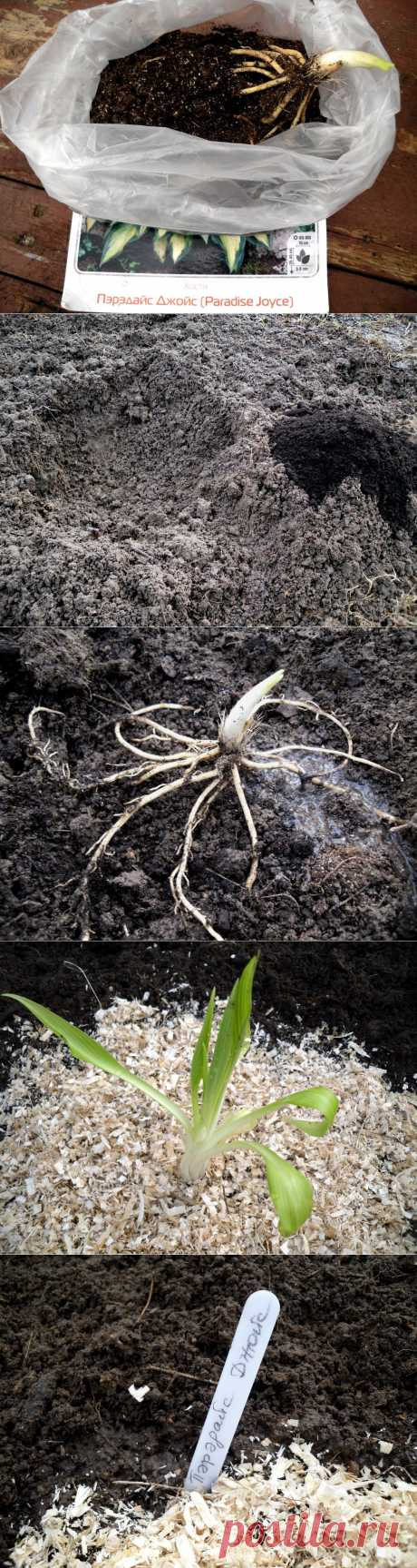 Шаг за шагом: выбираем и сажаем хосту. Весна — самое подходящее время для посадки хосты. И хотя растение это весьма неприхотливо, при выборе посадочного материала и собственно посадке нужно учитывать некоторые тонкости — о них и поговорим. Нам потребуются: посадочный материал, лопата, лейка с водой, немного торфа, а также опилки или измельченная кора. Неплохо припасти и садовые бирки, на которых напишем сорта посаженных растений.