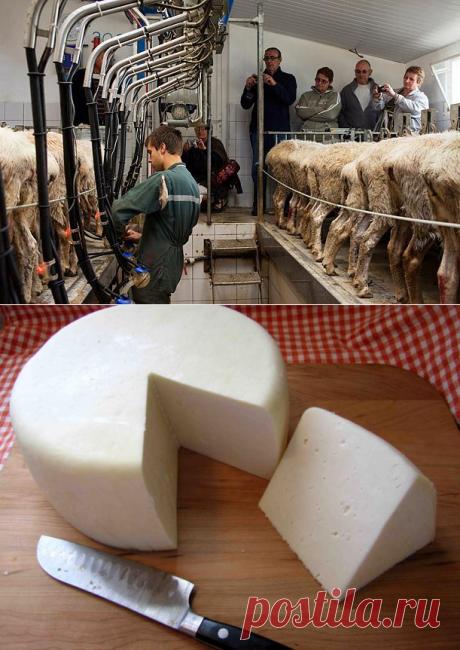 Молоко овцы - сколько дают в сутки и как перерарботать в сыр