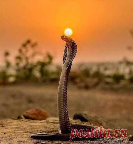 Ситуация, в которой никто не захотел бы оказаться: королевская кобра готовится к броску. Этот снимок был сделан фотографом Томом Чарлтоном в провинции Краби в Таиланде, и мог стать его последним кадром, но к счастью, крупнейшая из ядовитых змей мира лишь хотела его отпугнуть.