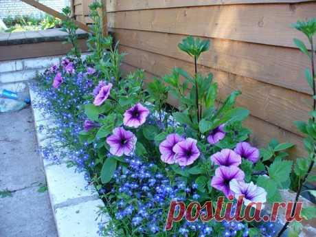 Однолетники для клумбы непрерывного цветения - раз посеял, радуют до поздней осени. Эффектные клумбы, за которыми легко ухаживать.