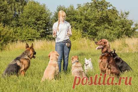 Как правильно дрессировать собаку?  Каждый хозяин собаки должен понимать, что он несет полную ответственность за жизнь, а также за физическое и психическое здоровье своего питомца. Животное должно быть управляемым. Это необходимо для безопасности и владельца, и других членов социума, в котором оно обитает. Поэтому сразу с появлением щенка в доме начинается важный и ответственный процесс его социализации и воспитания, который постепенно перерастает в настоящую дрессировку взрослой собаки.