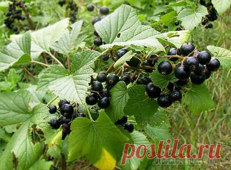Cutting of currant in the spring or how to receive a plentiful harvest