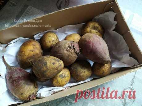Храню картофель в квартире. Без погреба до весны свежая картошка | 6 соток