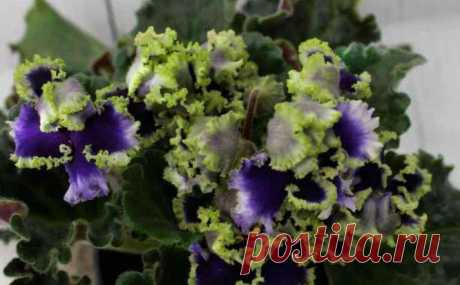 Фиалка Reigning Beauty: фото и описание Фиалка является одним из древних видов растений, которые с успехом выращиваются как комнатное растение. Эти цветы красивы, в меру капризны, но при правильному ходе способны радовать длительное время п...