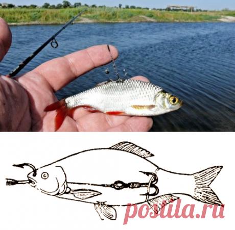 Как насадить живца, странный метод | Рыболовные хитрости | Яндекс Дзен