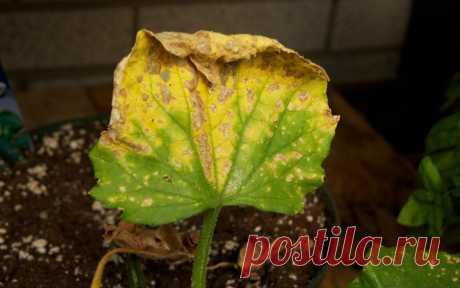 Почему скручиваются листья у огурцов – 8 возможных причин   Скручивание листьев огуречных растений может свидетельствовать о серьезных проблемах – от авитаминоза до вируса. Мы знаем, как определить проблему и решить ее. Многие дачники готовят семена к посеву…