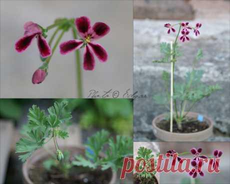 Species hybrids | Pelargonium – Edgar's site