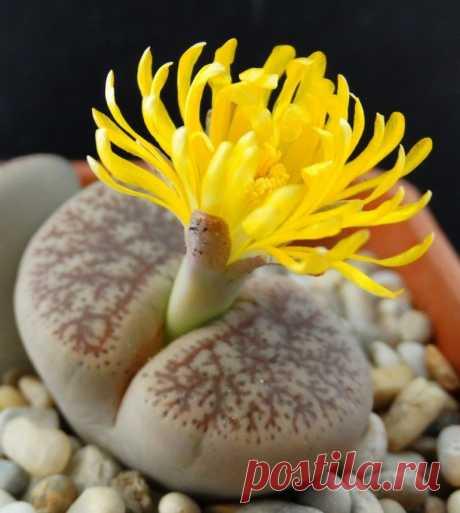 Литопс уход в домашних условиях, фото, выращивание из семян, живой камень