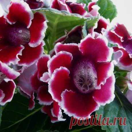 2 простых способа выращивания глоксинии – из семян и клубней (мастер-класс) | Цветы в доме (Усадьба)