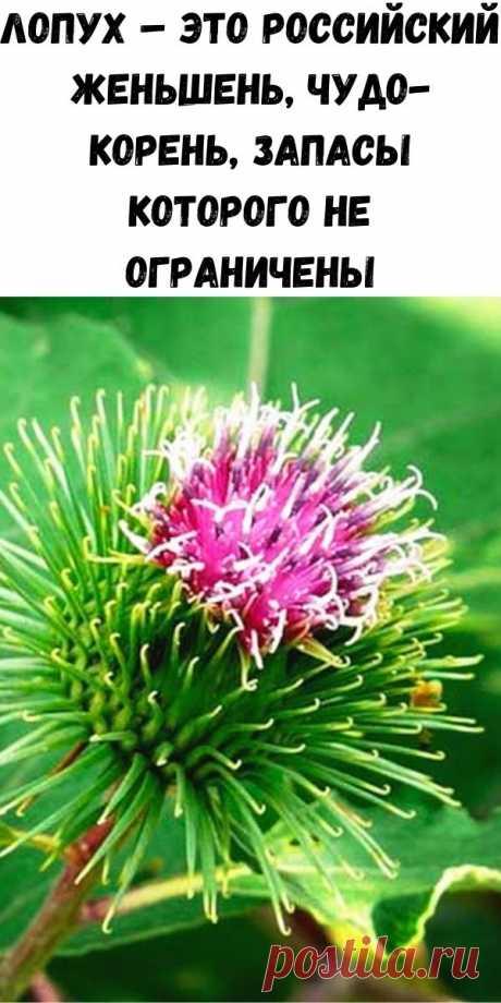 Лопух – это российский женьшень, чудо-корень, запасы которого не ограничены - Полезные советы красоты