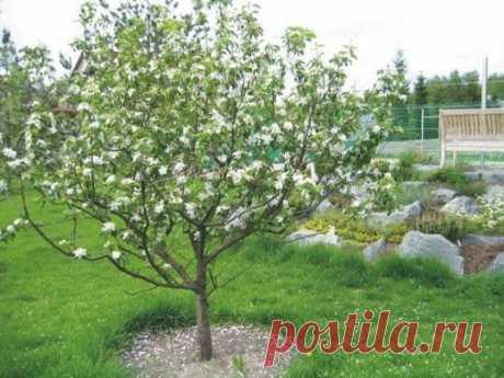 Уход за молодыми яблонями