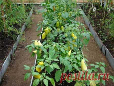 10 ошибок при выращивании перца