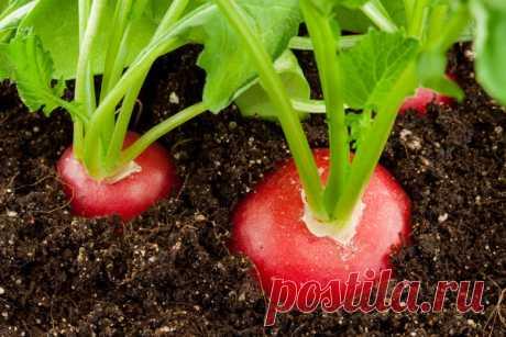 Как вырастить редис на подоконнике / домашний огород / 7dach.ru