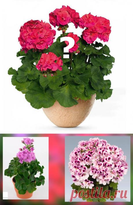 Так все-таки, что растет у нас на подоконнике - Герань или Пеларгония? | Садовый рай 🌱 | Яндекс Дзен
