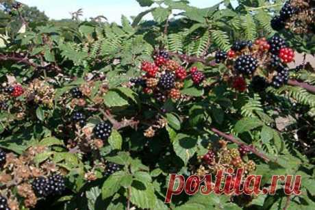 Особенности размножения и обрезки ежевики на даче Российские дачники с удовольствием культивируют такую ягоду, как ежевика, уход, выращивание, размножение и обрезка которой выполняется не сложно. Ежевика богата полезными веществами и витаминами, по в...