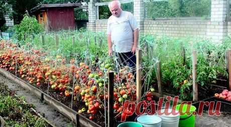 Секретики садоводам-огородникам на заметку Дедовский рецепт для томатов