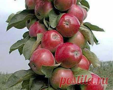 Колоновидные яблони — Саженцы — Розы в Волгограде