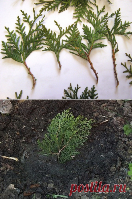 HOW TO GROW UP THE THUJA FROM THE BRANCH?