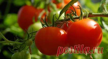 7 самых распространенных болезней томатов: описание и фотографии