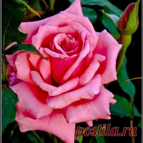 Роза эйфелева башня фото