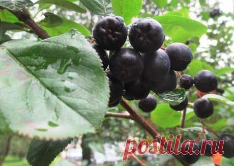 Черноплодная рябина поделюсь своими рецептами заготовок и когда собирать урожай